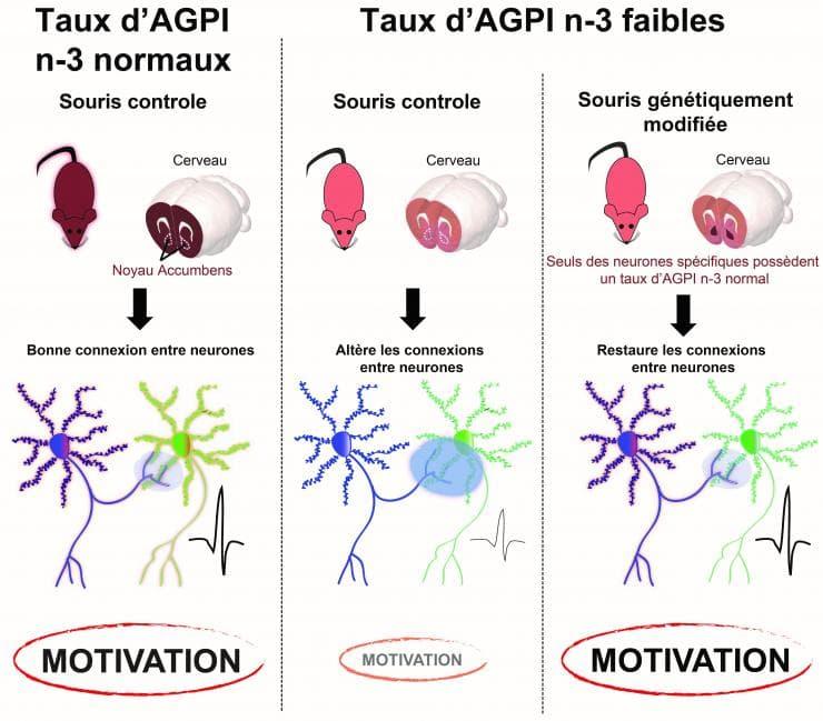 Lien entre le taux d'AGPI n-3 dans un sous-type de neurones du circuit de la récompense et la motivation